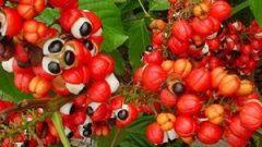 Guarana nedir? Guarana nerede satılır? Guarana nereden gelir?