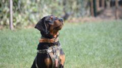Rottweiler beslemek isteyenler için temel bilgiler